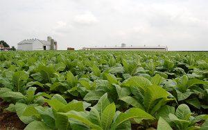 مزرعه تنباکو و تفاوت جویس معمولی و سالت